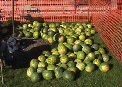 Watermelon Bust Photo 36